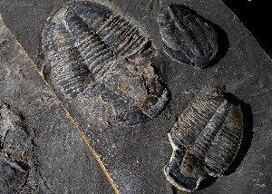 Antelope Springs Trilobites
